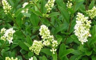 Как сделать живую изгородь из бирючины?