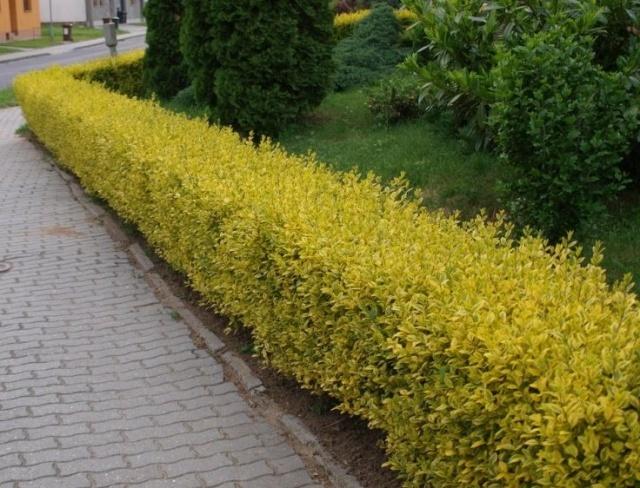 Живая изгородь из бирючины для сада и приусадебных участков